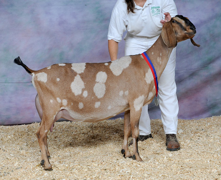Nubian goat sperm for sale